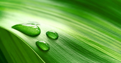 large_Dew_on_Green_Leaf